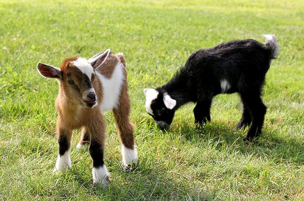 Reed Hastings owns two Nigerian dwarf goats